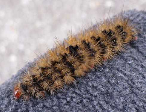 Chenille - Chenille orange et noir ...