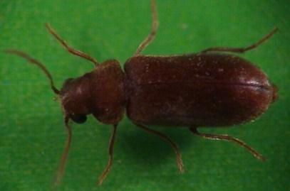 Informations et identification des insectes du bois piege et a - Parasites du bois maison ...