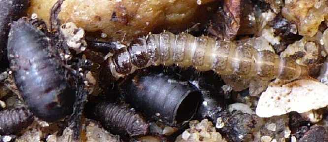 sensilles tarses diptères