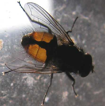 Insectes15 41 - Mouche jaune et noire ...