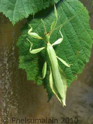 3b4dd2d720b Phyllium philippinicum   femelle adulte - mâle adulte (photos A.Dégardin)