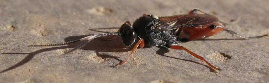 Listère + insecte à identifier Platylabus-sp