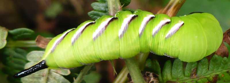 Insectes13terter - Chenille verte et noire ...