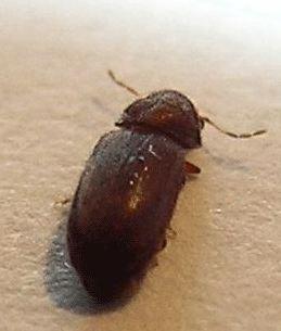 Insecte noir carapace croquante 2mm volant au secours for Bete qui mange le bois