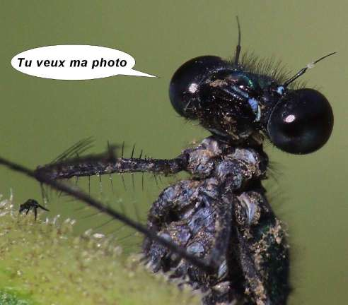 cochenille - Page 2 Tete-Calopteryx-virgo-m