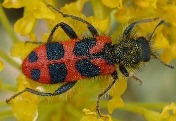 Insectes11 13 - Insecte rouge et noir ...