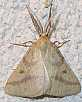 aspitates_ochrearia_male