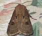 agrotis_exclamationis_male