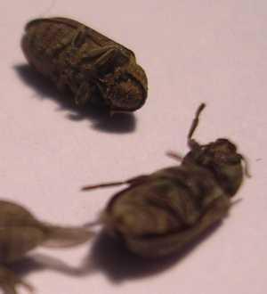 Insectes36 - Parasites du bois maison ...