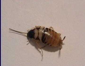 Blatte De Cuisine | Insectes46