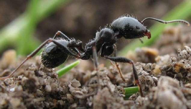 fourmis ouvrières